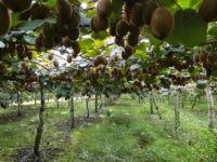 Kiwifruit Orchards in Tauranga